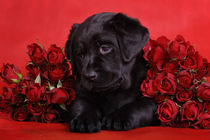 Labrador puppy with red roses von Waldek Dabrowski