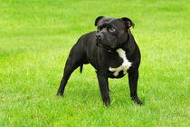American Staffordshire Terrier portrait  by Waldek Dabrowski