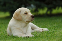 Little labrador puppy in garden by Waldek Dabrowski