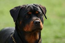 Rottweiler portrait by Waldek Dabrowski
