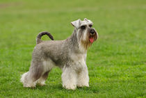 Schnauzer portrait in lawn by Waldek Dabrowski