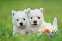 Two West highland white terrier puppies portrait by Waldek Dabrowski