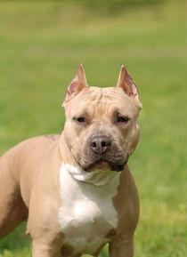 American Staffordshire terrier Amstaff dog portrait von Waldek Dabrowski