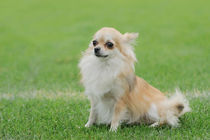 Chihuahua longhaired dog portrait by Waldek Dabrowski
