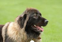 Caucasian Shepherd Dog von Waldek Dabrowski