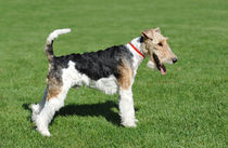 Fox Terrier portrait by Waldek Dabrowski