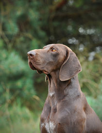 German shorthaired pointer by Waldek Dabrowski