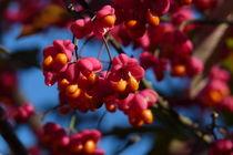 Pfaffenhütchen von flora