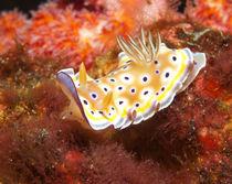 Nudibranch by Konstantin Novikov