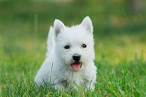 Puppy West highland white terrier by Waldek Dabrowski