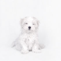 Maltese dog puppy  von Waldek Dabrowski