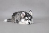Husky puppy von Waldek Dabrowski