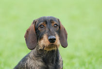 Wire-haired dachshund dog  von Waldek Dabrowski