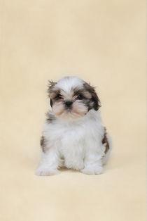 Shih tzu puppy von Waldek Dabrowski
