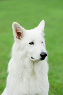 White Swiss Shepherd Dog by Waldek Dabrowski