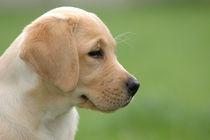 Labrador puppy by Waldek Dabrowski
