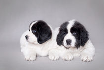 Two little Landseer puppies portrait by Waldek Dabrowski