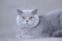 British shorthair cat by Waldek Dabrowski
