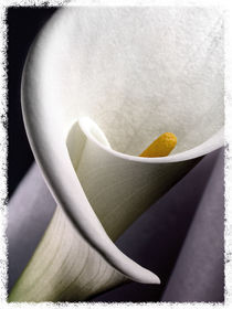 Calla Lily II by Cesar Palomino