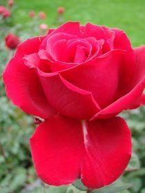 Rose für Christiane von Ka Wegner