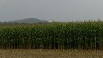 Corn Field-USA by Nancie Martin DeMellia