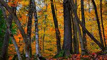 Birch Trees-USA by Nancie Martin DeMellia