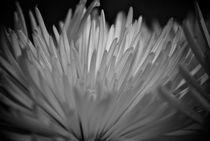 Chrysanthemum by Phyllis Copeland