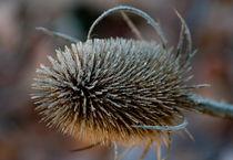 Thorns of winter by Sheona Hamilton-Grant