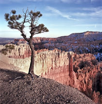 Lone Pine in Bryce Canyon by Luc Novovitch