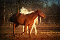 Horses in the sunset light by holka