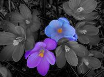 All you need is love-Crocus-Flower-USA by Nancie Martin DeMellia