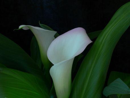 Calla-lily-white-05