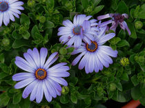 Daisy-Flower-Purple by Nancie Martin DeMellia