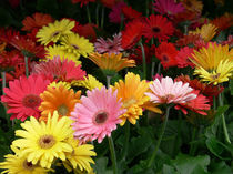 Gerber Daisies-Flowers-USA von Nancie Martin DeMellia