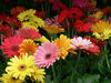 Revolution-series-gerbera-daisy-bunches-3