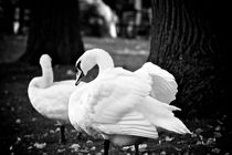 Bruges Swans (black and white) by Phyllis Copeland