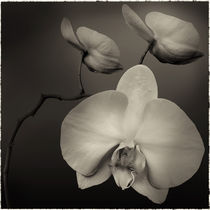 White Orchid by Cesar Palomino