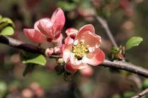 Peach coloured blossom by Miroslava Andric