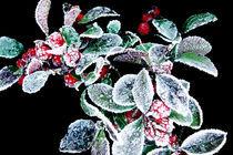 Frostbeere (frost berry) von corsza