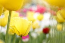 Tulpenleuchten by Ursula Pechloff