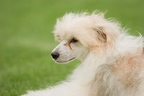 Chinese crested dog by Waldek Dabrowski