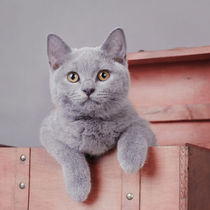 British shorthair kitten von Waldek Dabrowski