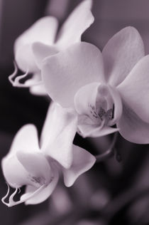 Orchidee by Martina Weidner