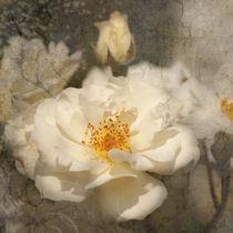 "Rose ""Moonlight"" by Ursula Pechloff"