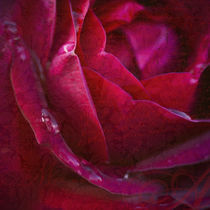 Eine Rose ist eine Rose ist eine Rose... von Ursula Pechloff