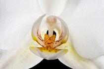 White orchid von holka