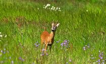 Rehbock auf Blumenwiese-wildlife von Wolfgang Dufner