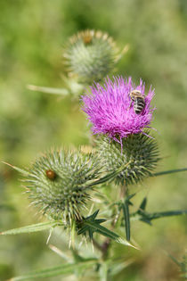 Thistle with bee by Miroslava Andric