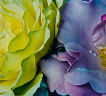 Two Roses, Two Hues von Nabila Khanam