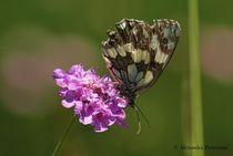 Butterfly by alex pieterman